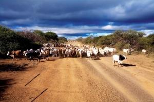 livestock_114-copy